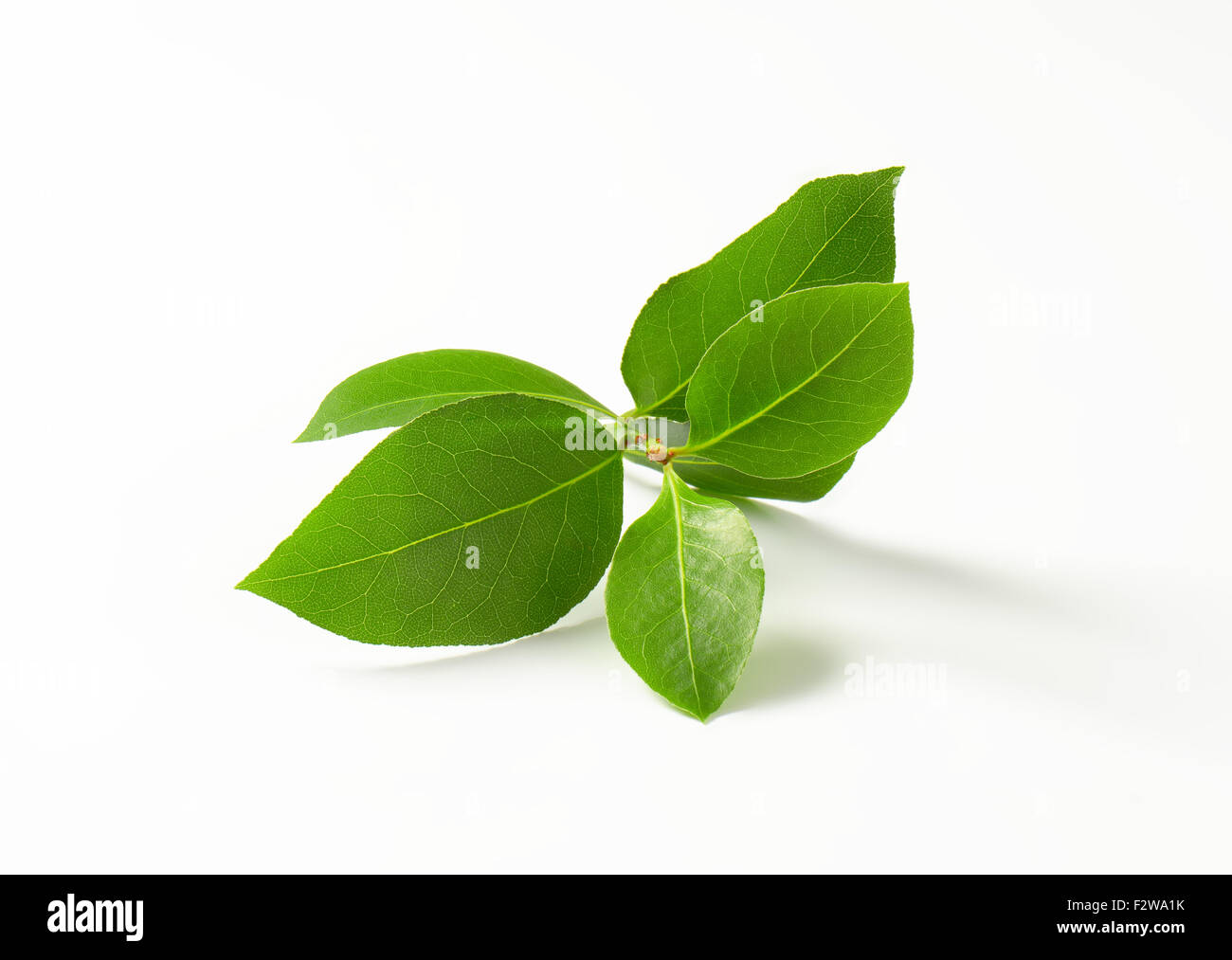 twig of fresh bay leaves on white background - Stock Image