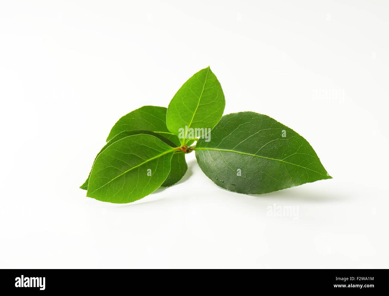 twig of fresh bay leaves on white background - Stock Image