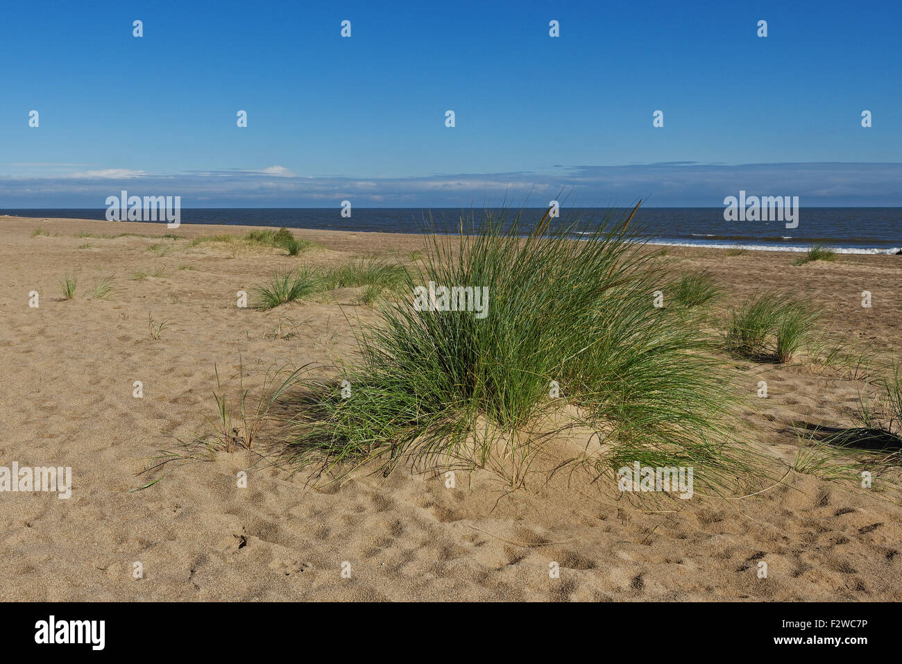 Marram Grass (Ammophila Arenaria) on a beach on the East Coast of the UK - Stock Image