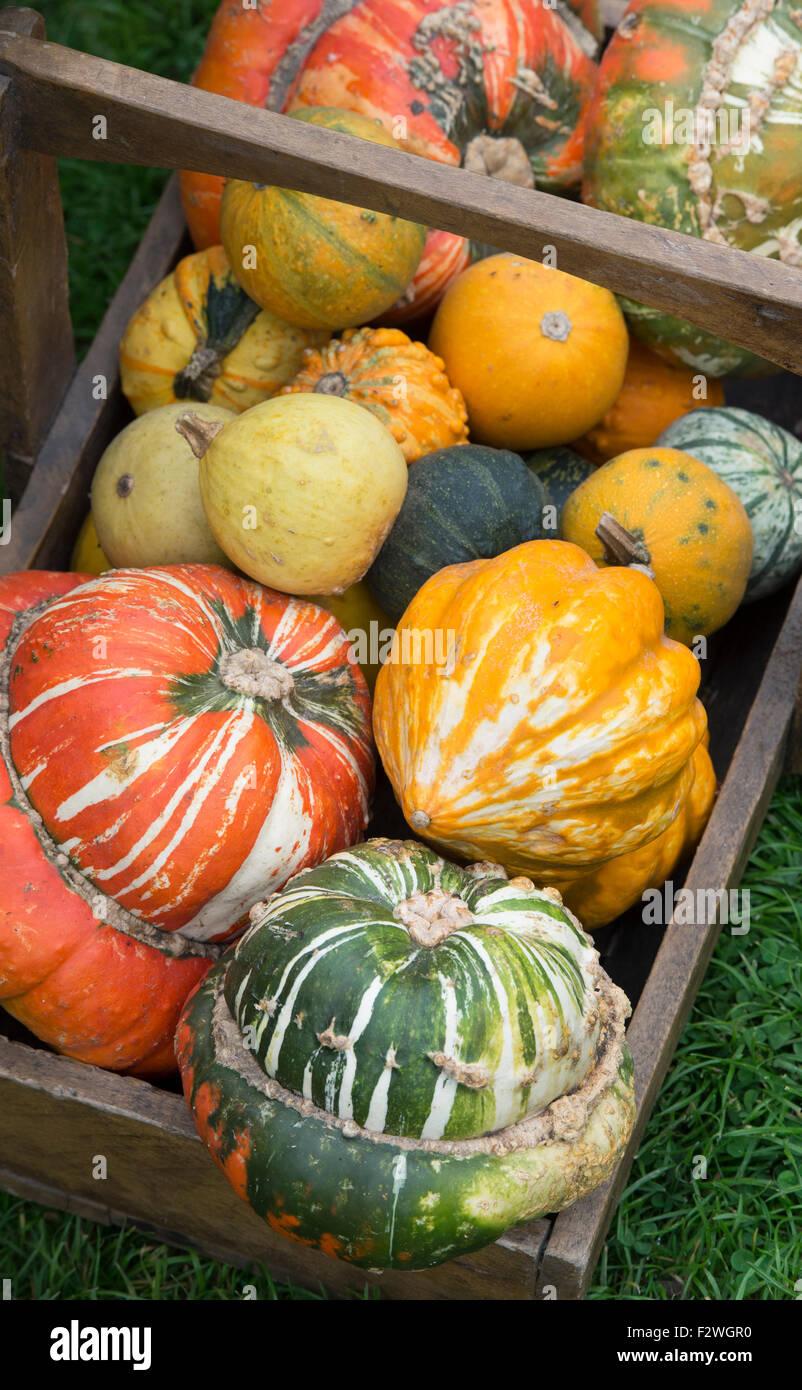 Cucurbita. Pumpkins Squashes and Gourds in a wooden trug - Stock Image
