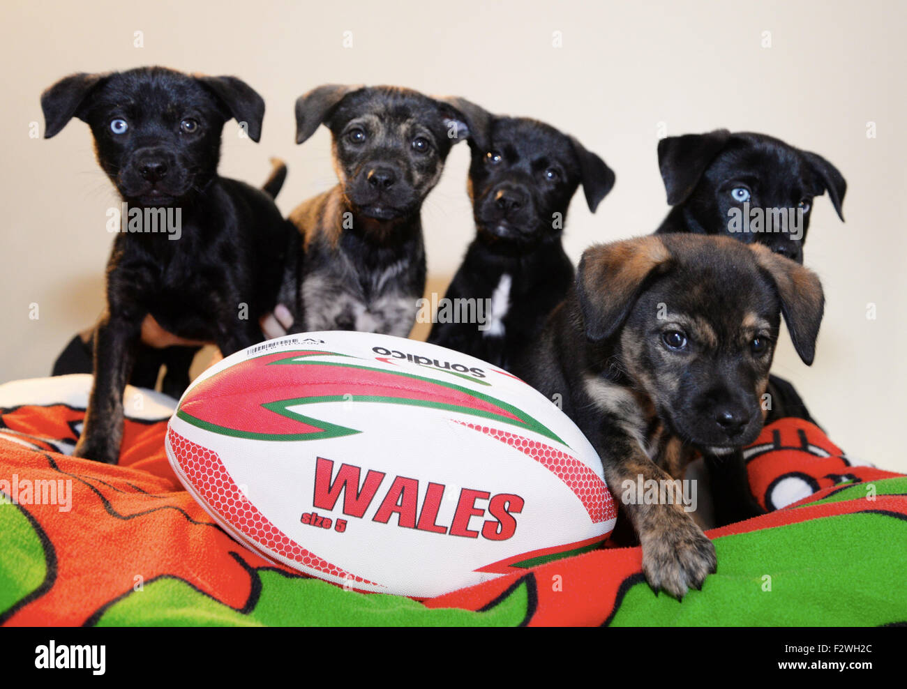 Bridgend, Wales, UK. 24th September, 2015.   RUGBY WORLD PUP Dogs Trust Bridgend Scrum of Rugby Pups for homes  - Stock Image