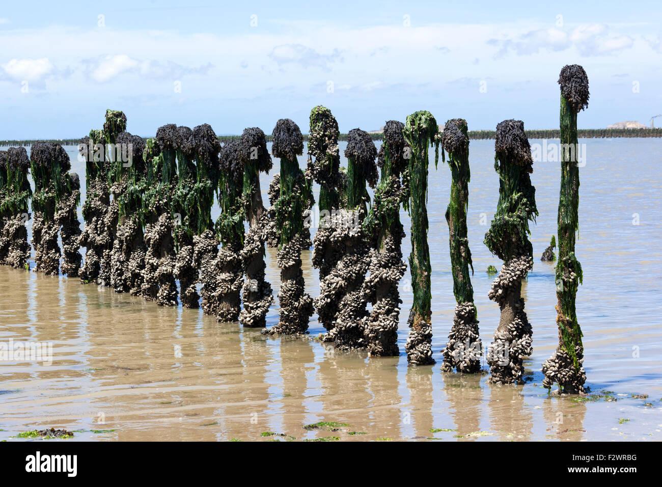 Mussel farming in Baie de Pen-Bé, Loire-Atlantique, France Stock Photo