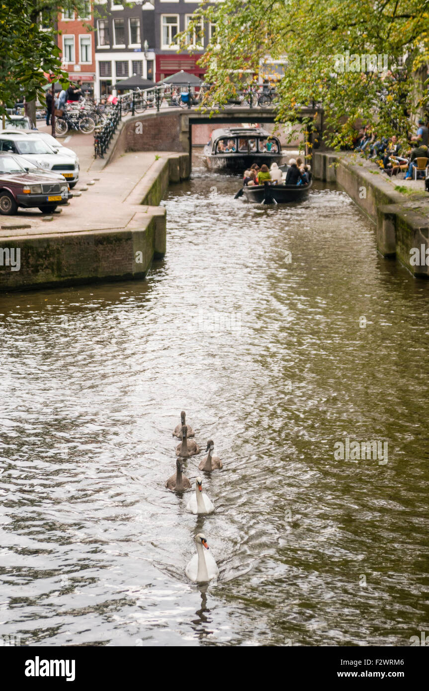 Swans swim down a canal in Amsterdam with three large cygnets Stock Photo