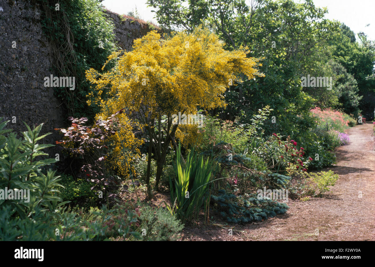 Yellow Flowering Acacia Growing In Border In Large Walled Garden