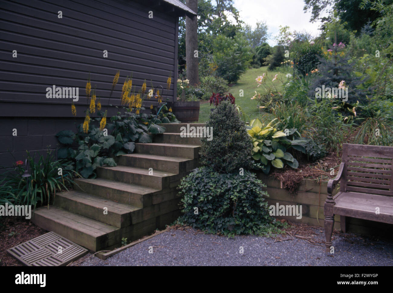 Yellow ligularia growing beside a house and steps above a patio with a small conifer in a pot with trailing ivy - Stock Image