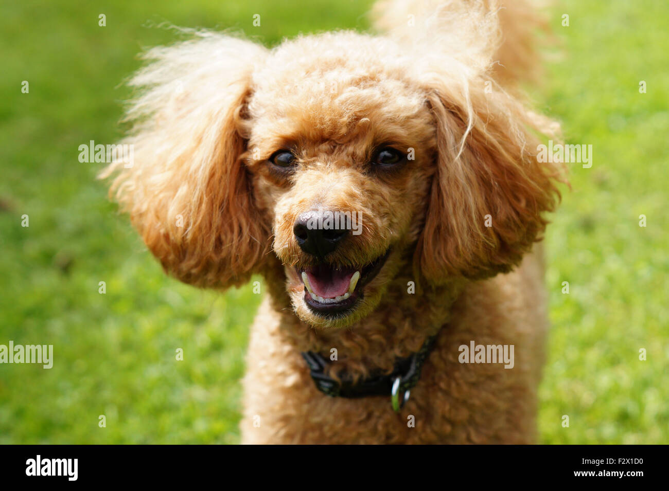 Happy Smiling Fluffy Red Toy Poodle with Teeth Showing in face close up photo - Stock Image