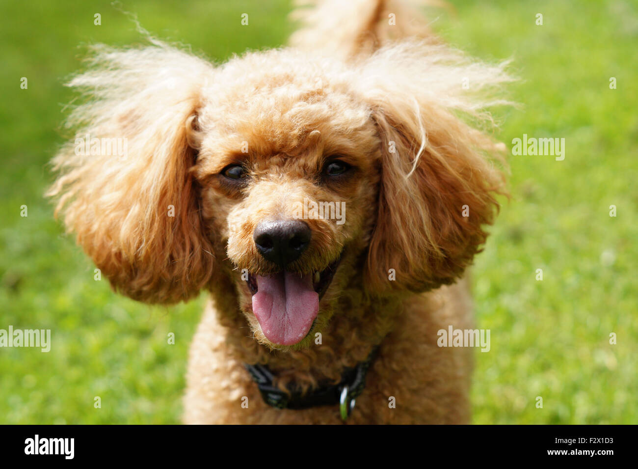 Happy Smiling Fluffy Red Toy Poodle with Tongue Out Facing camera - Stock Image