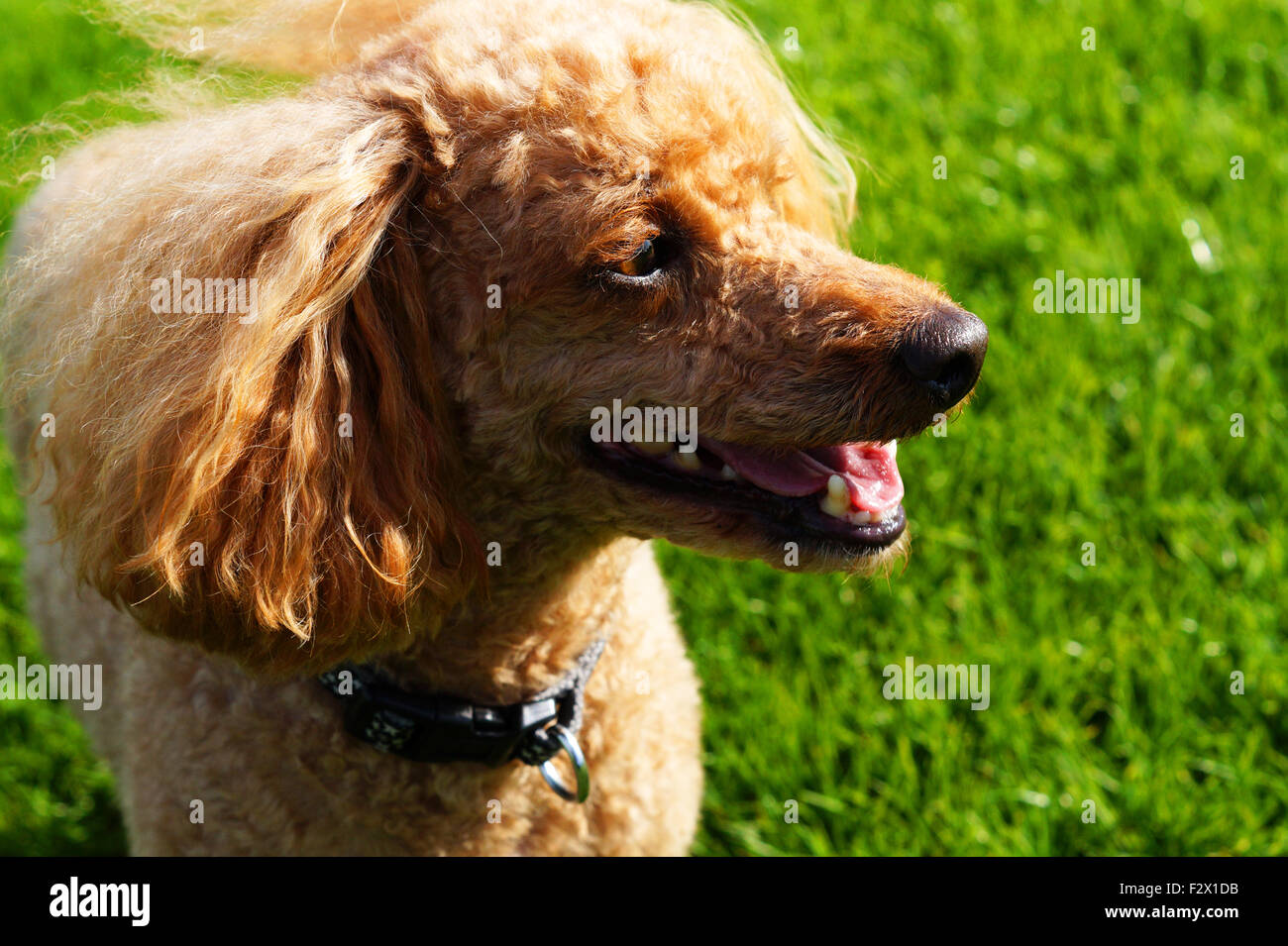 Happy Smiling Fluffy Red Toy Poodle Side View - Stock Image