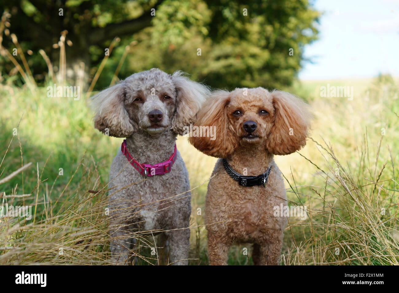 Oscar and Indie Toy/ Miniature Poodle  posing on their nature walk at Loudoun Hill - Stock Image