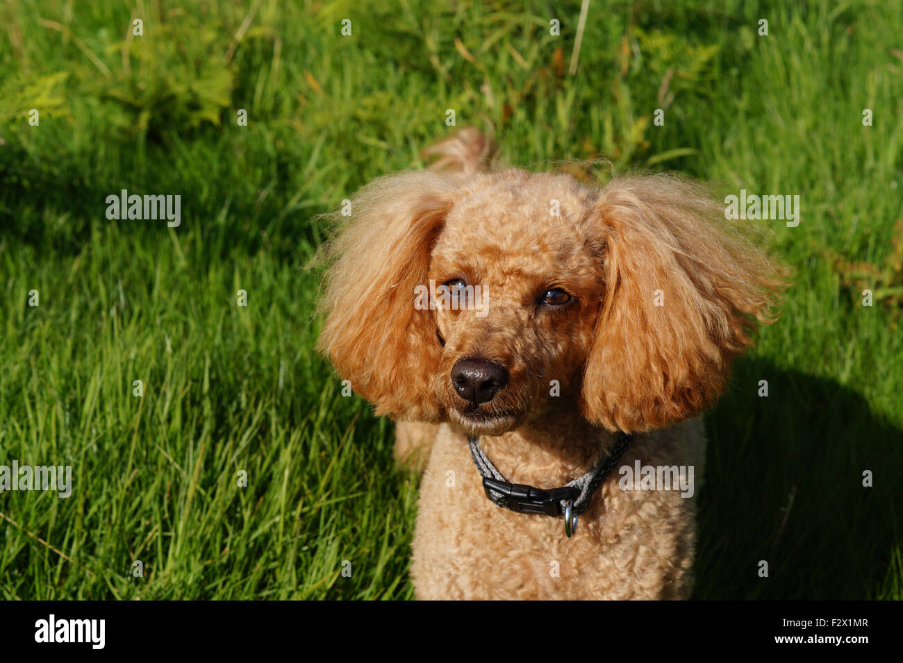 Cute small Red Toy Poodle with fluffy ears lying in the grass Stock Photo