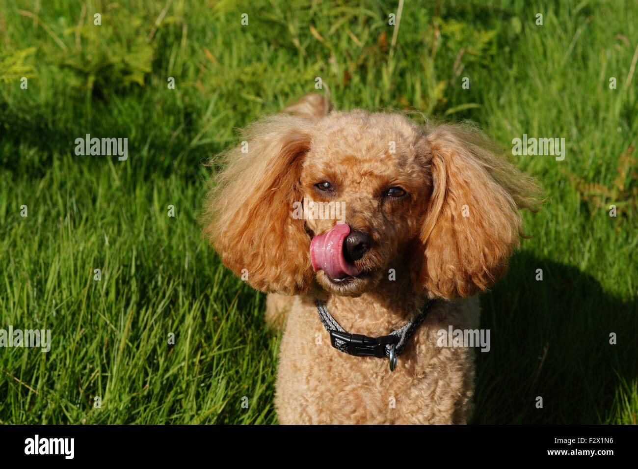 Little Red Toy Poodle with fluffy ears Licking Nose Facing Camera Stock Photo