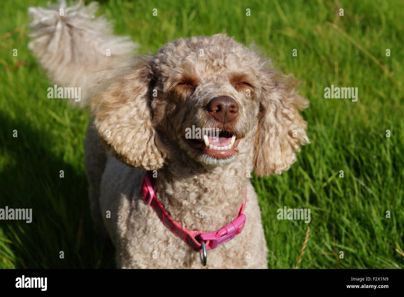 Fluffy, Brown Miniature Poodle with sun in her eyes teeth and tongue showing facing camera - Stock Image