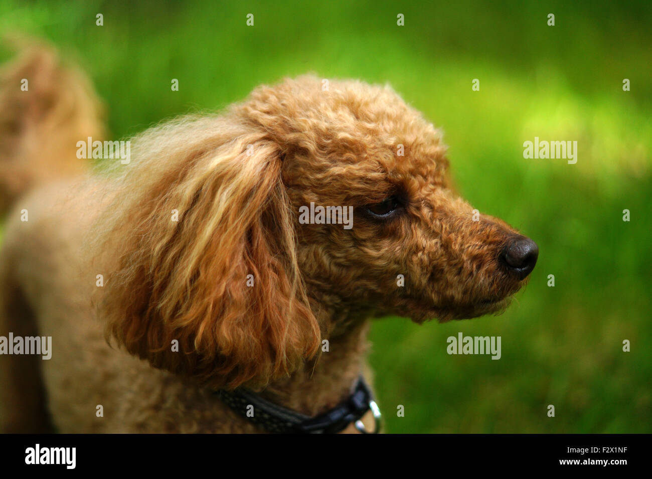 Red Toy Poodle in Woods with grass background side view - Stock Image