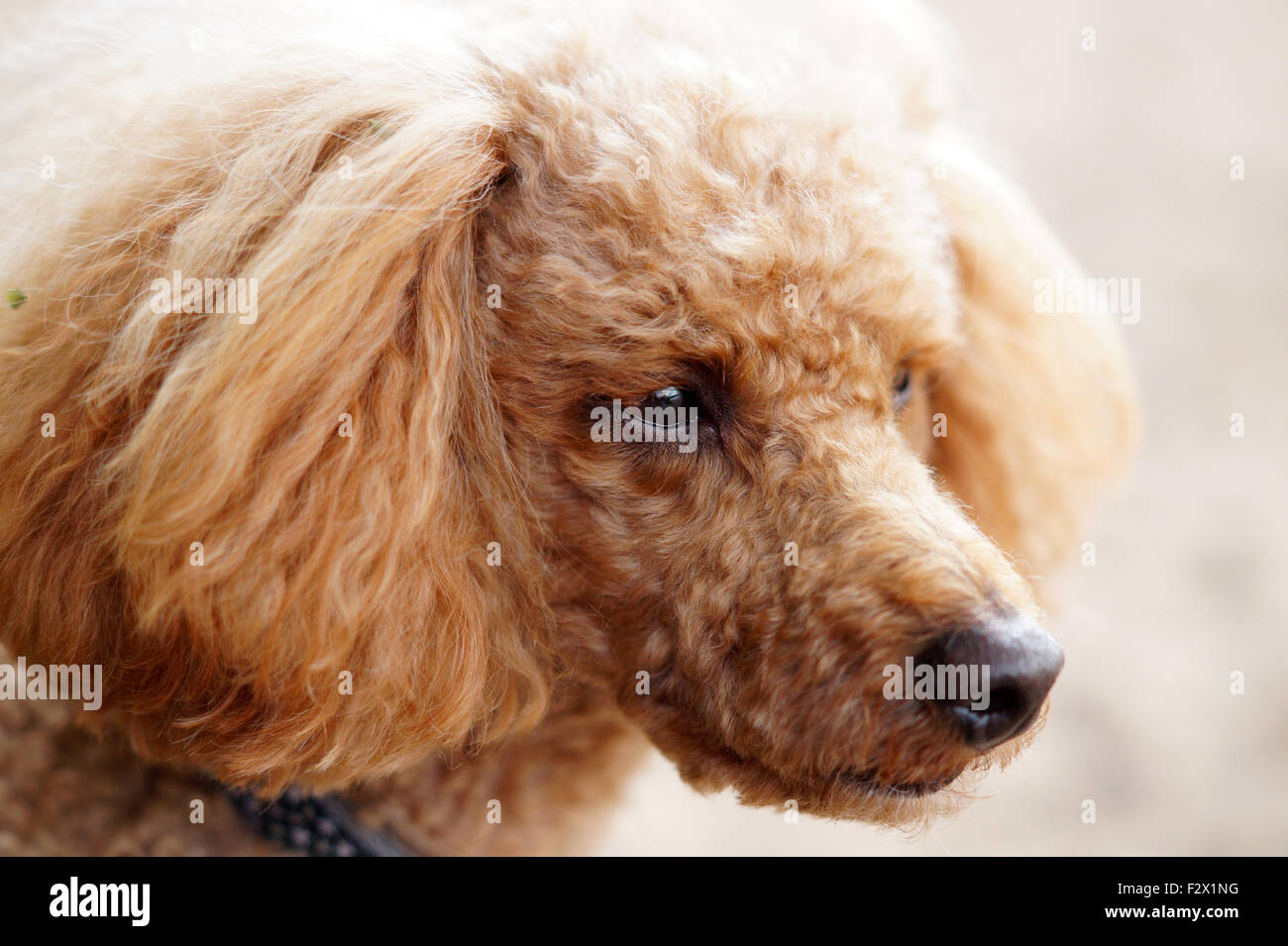 Red Fluffy Cuddly Curly haired toy Poodle with brown eyes - Stock Image