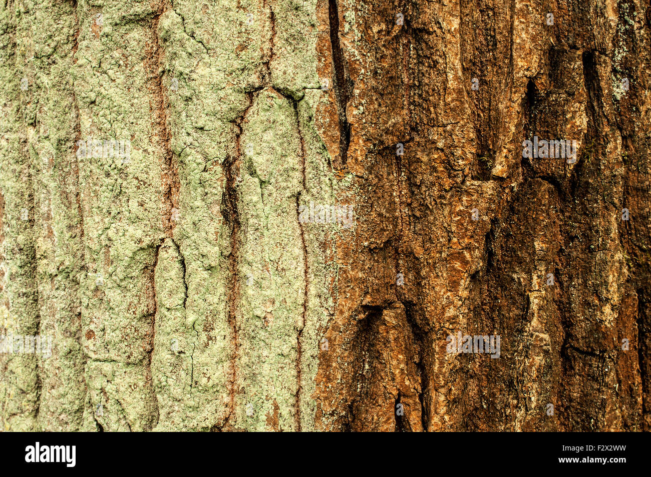 Bicolored tree-bark - green lichens on the left side Stock Photo