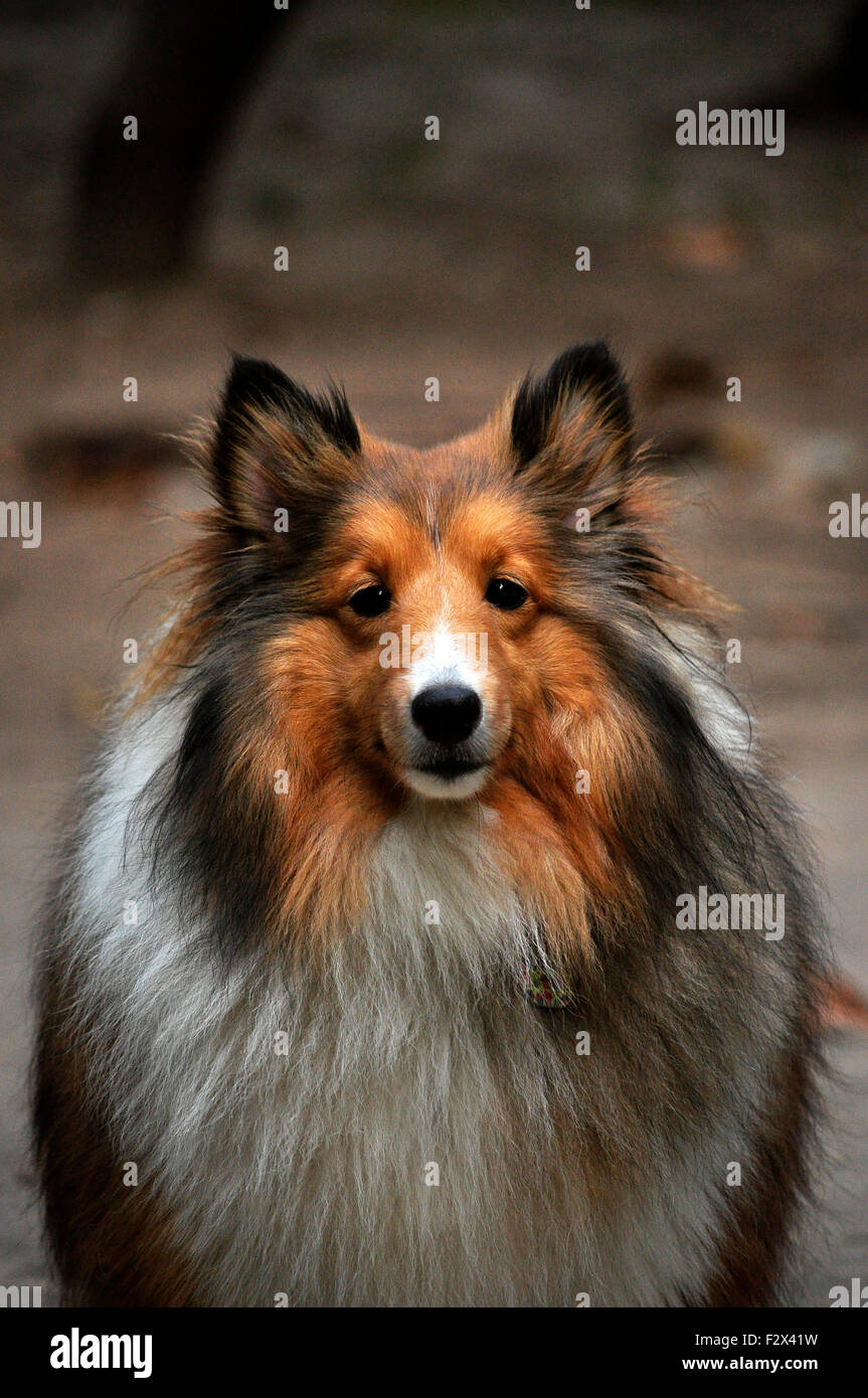 Collie dog with a heavy fur looking at photographer - Stock Image
