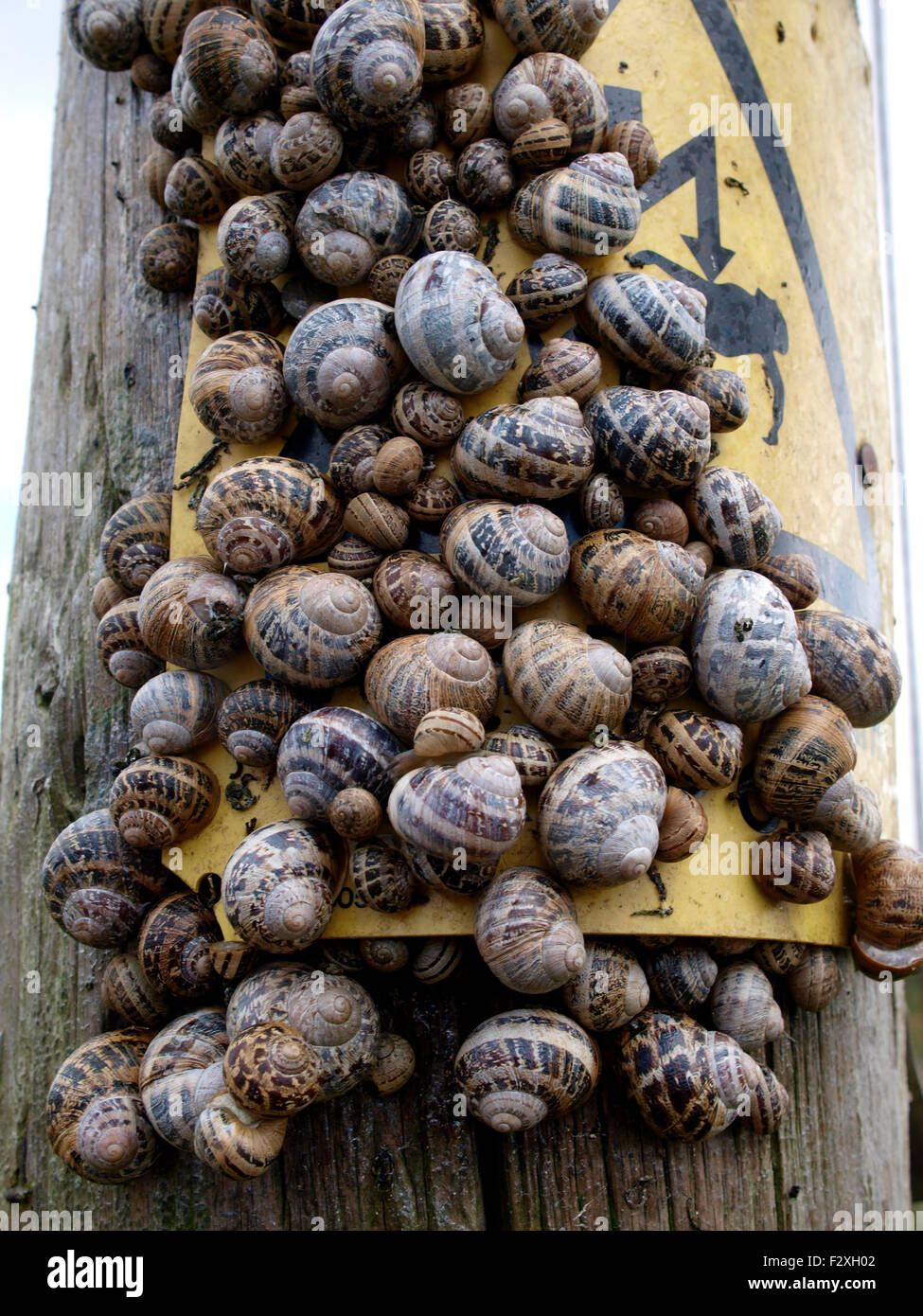 Lots of snails on a telegraph pole, Cornwall, UK - Stock Image