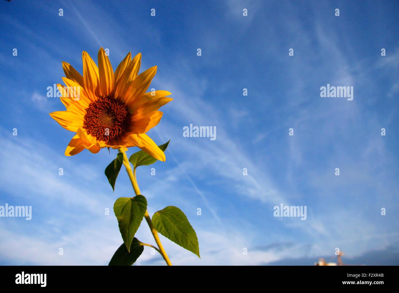 Sonnenblume. - Stock Image