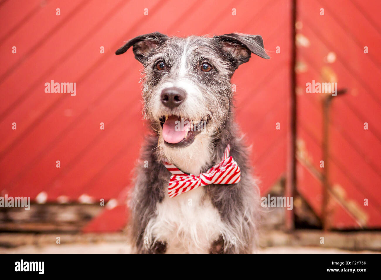 Scruffy dog with a bow tie smiling - Stock Image