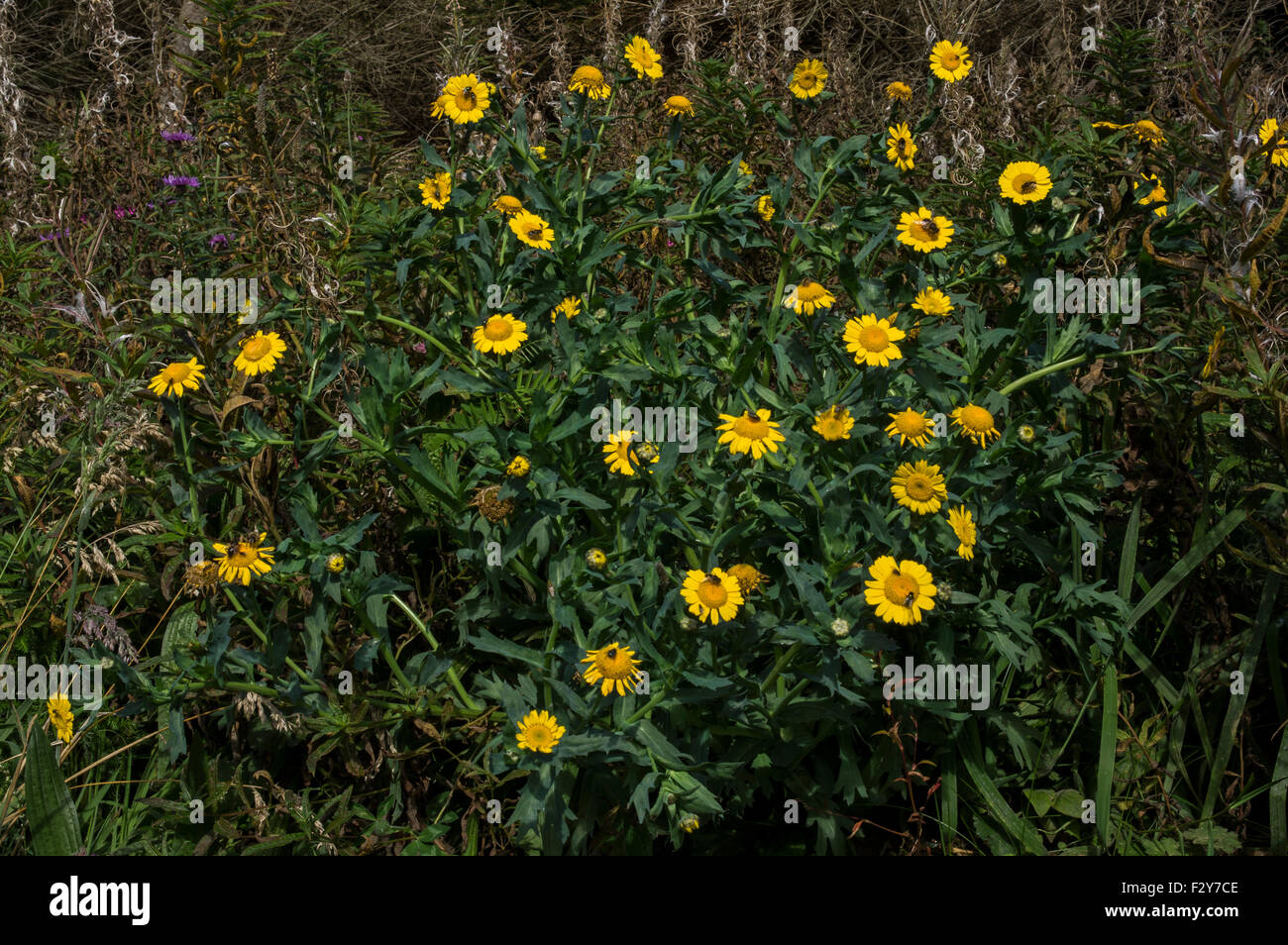 Corn Marigold. A plant of disturbed ground, particularly ploughed fields, rapidly declining in England and Wales - Stock Image