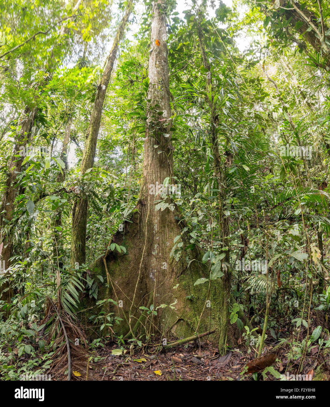 Large tree with buttress roots in tropical rainforest, Ecuador. Stock Photo