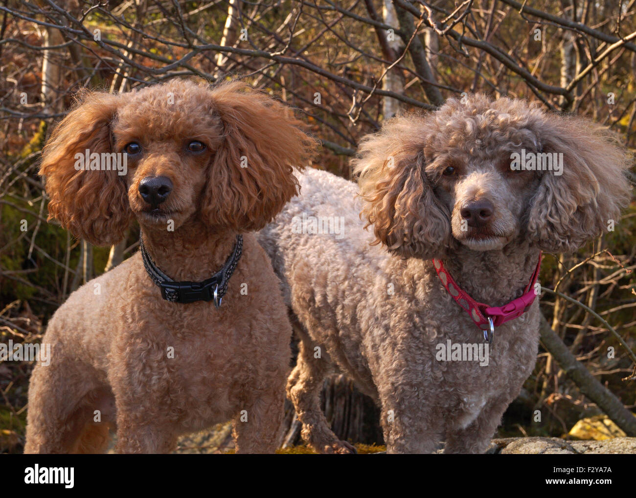Red and Brown Toy / Miniature Poodles with fluffy ears on the Rocks at Loch Lomond - Stock Image