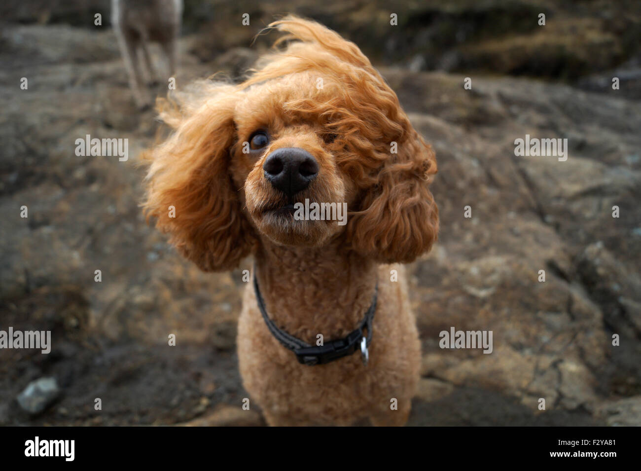 Red Toy Poodle at the Fairy Pools on the Isle of Skye with wind blowing one ear over his face when he's looking - Stock Image