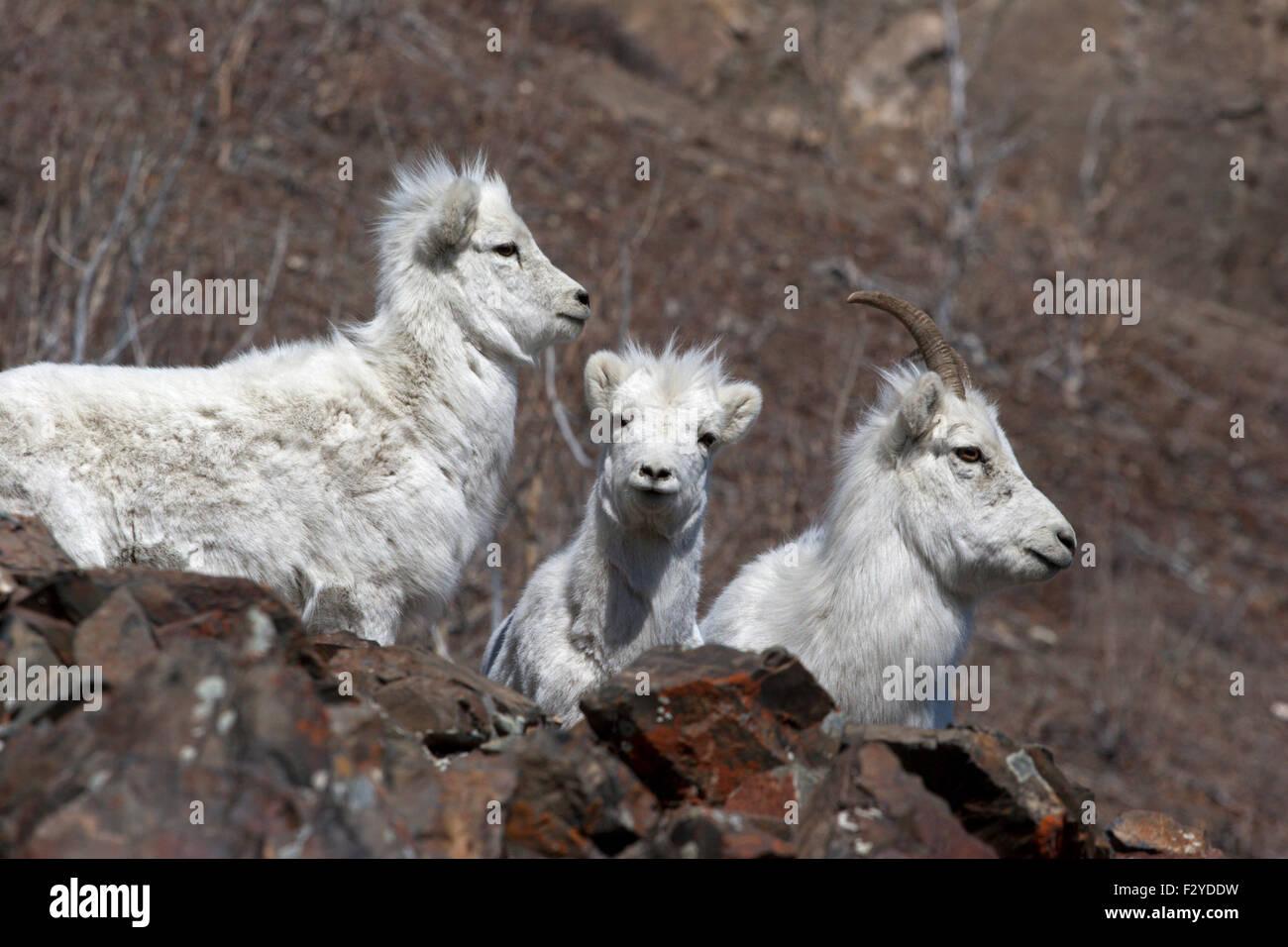 Dall sheep mountain goats wild Canada Yukon Stock Photo