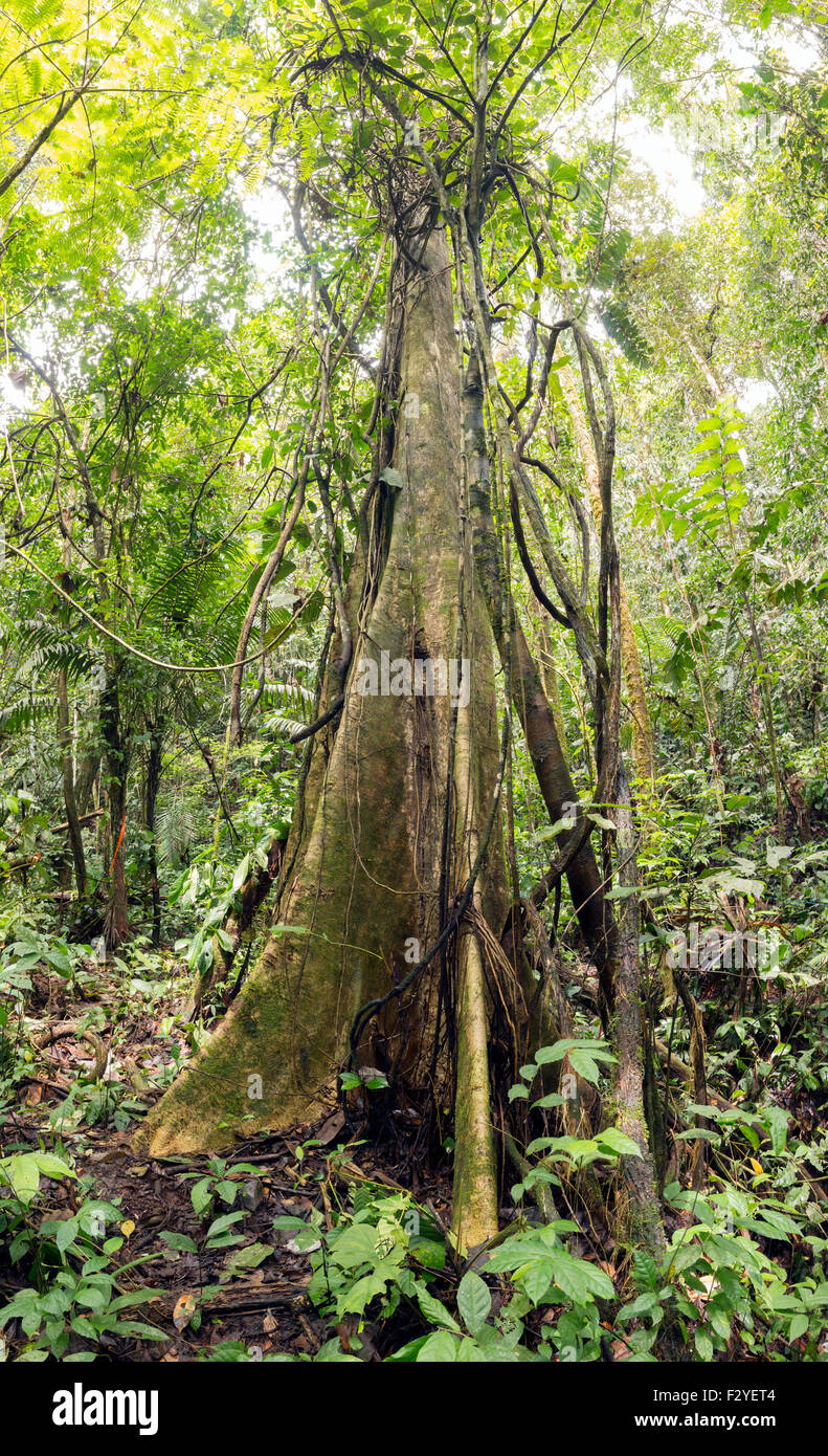 Large tree with buttress roots and festooned with lianas in tropical rainforest, Ecuador. - Stock Image