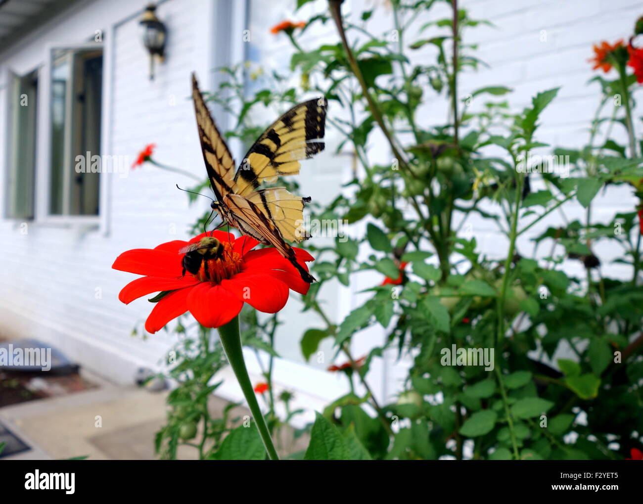 Butterfly watching bumblebee pollinate Mexican sunflower - Stock Image
