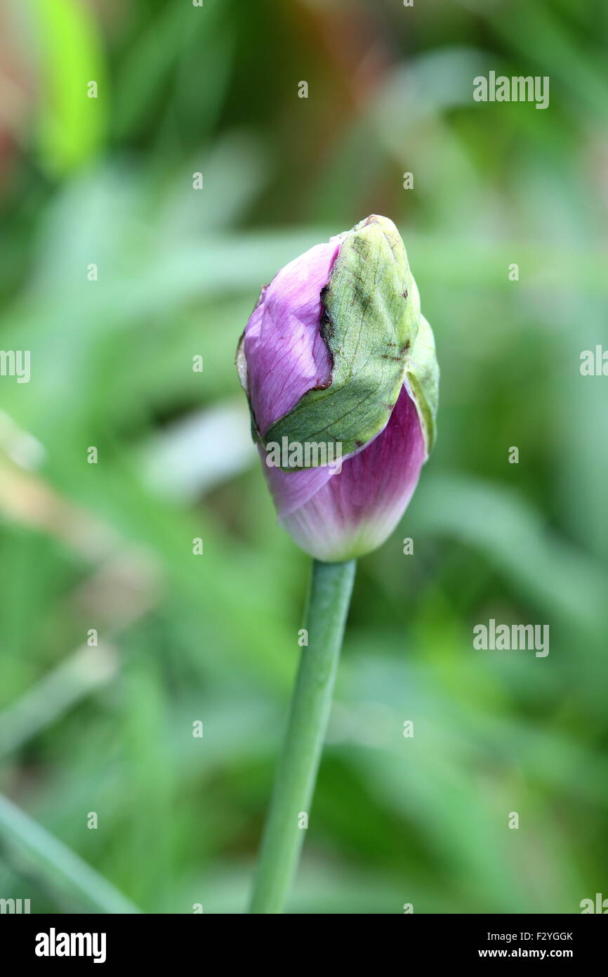 Unopened Opium Poppy Flower Bud Stock Photo 87886867 Alamy