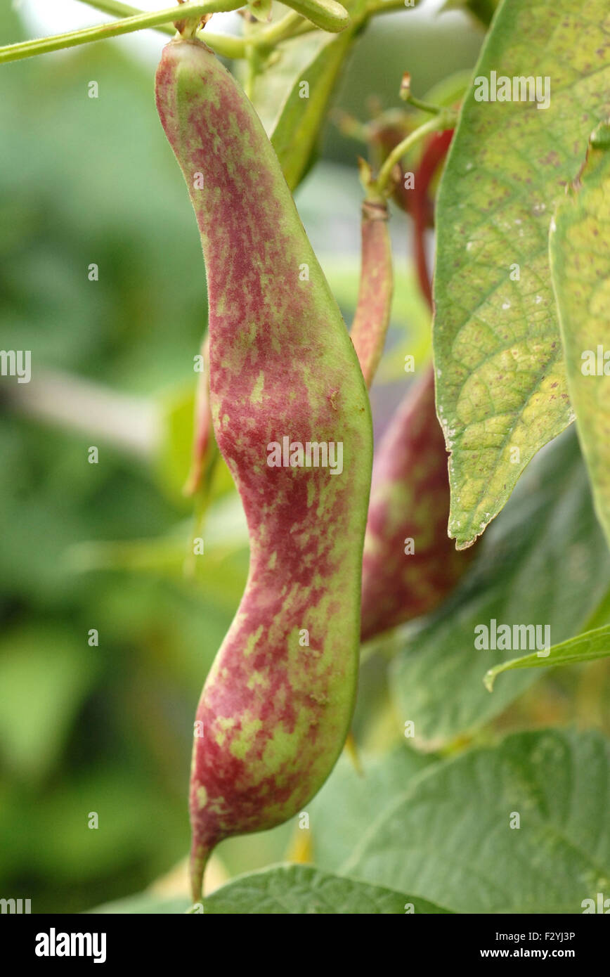Pinto Beans Stock Photo Alamy