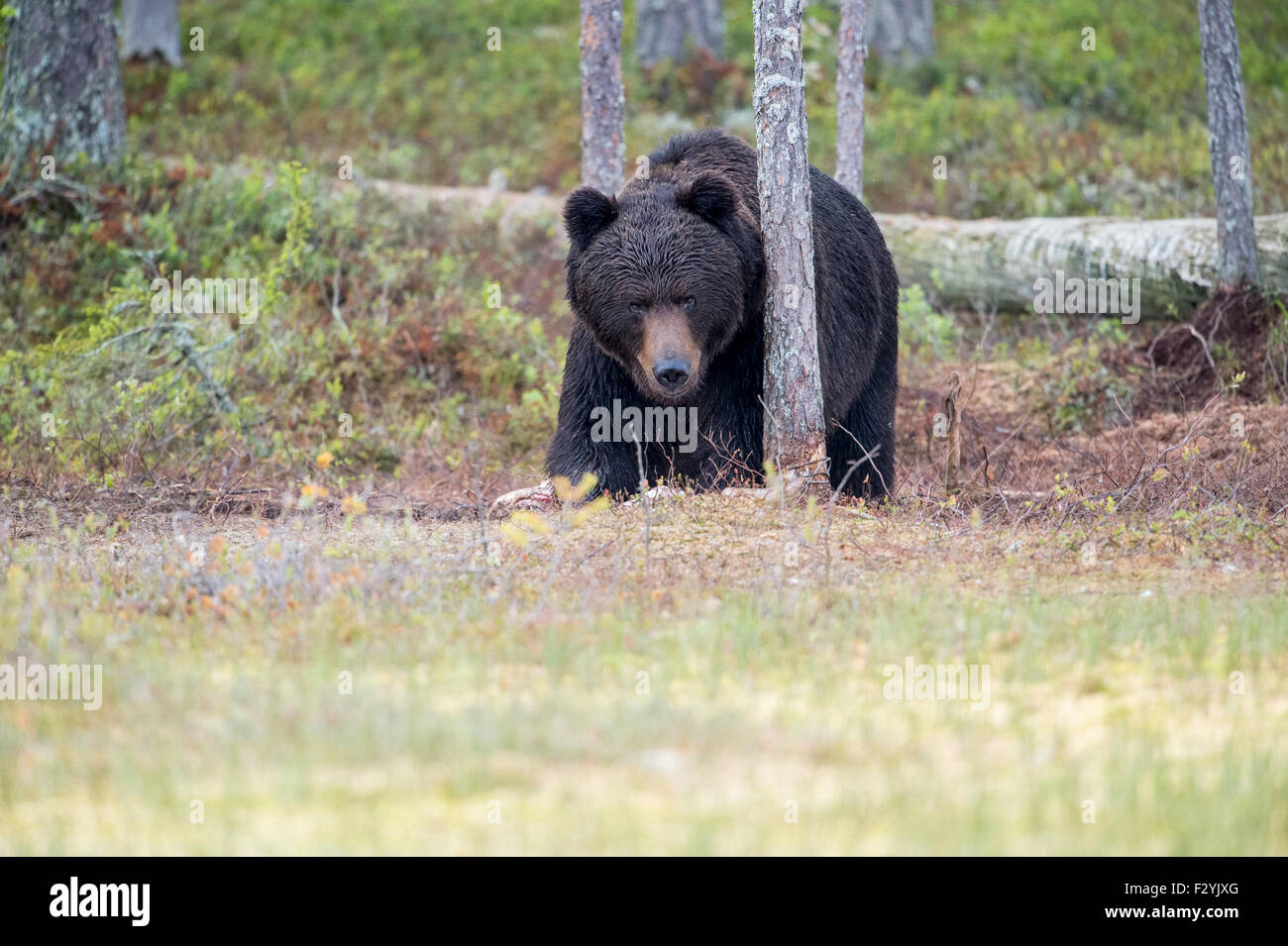 Eurasian Brown Bear Ursus arctos arctos emerges from the wild forests of Finland, close to the Russian border. Stock Photo