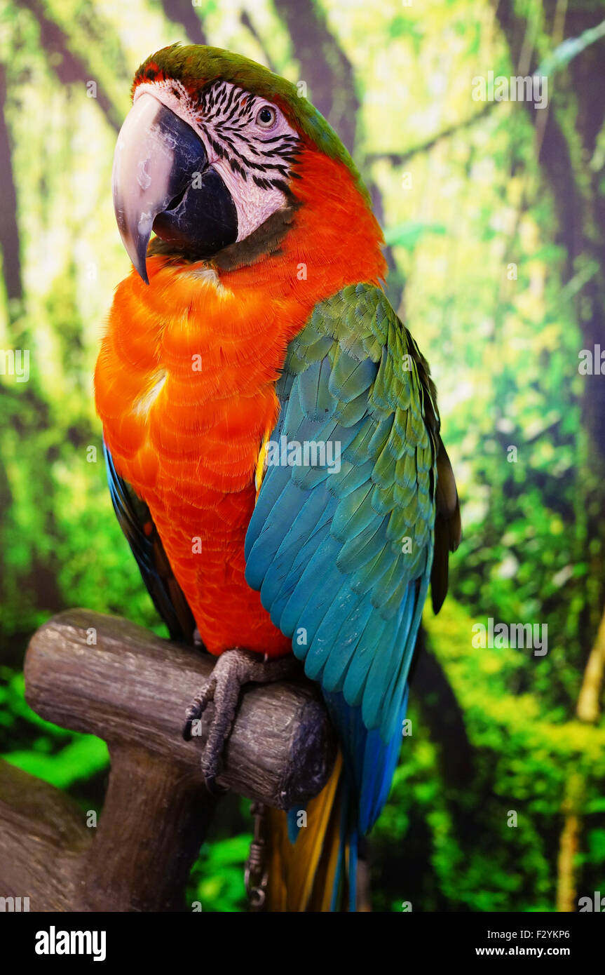 Red Parrot in the House - Stock Image