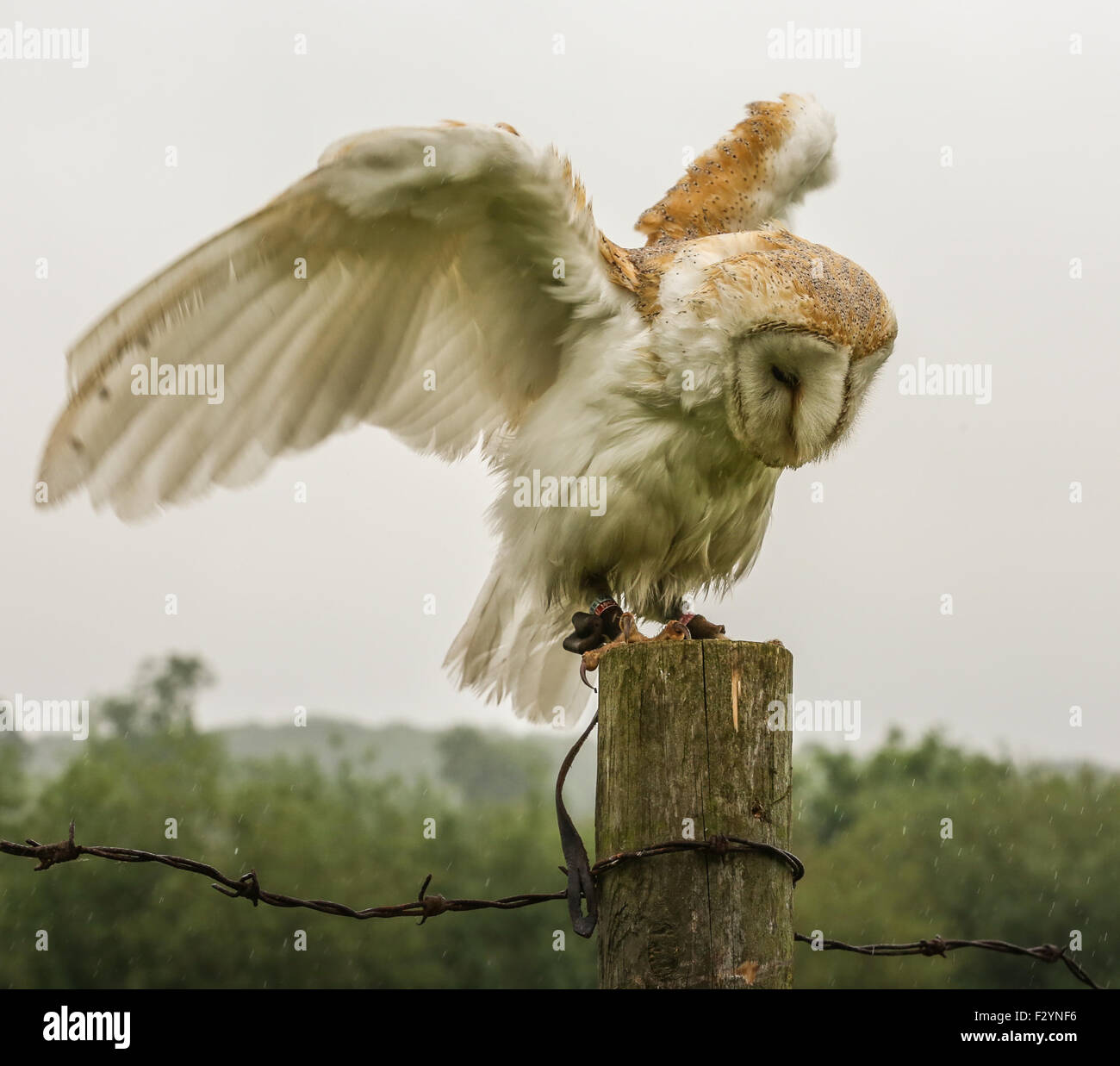 Photograph of a barn owl landing on a fence post and showing off his plumage. - Stock Image