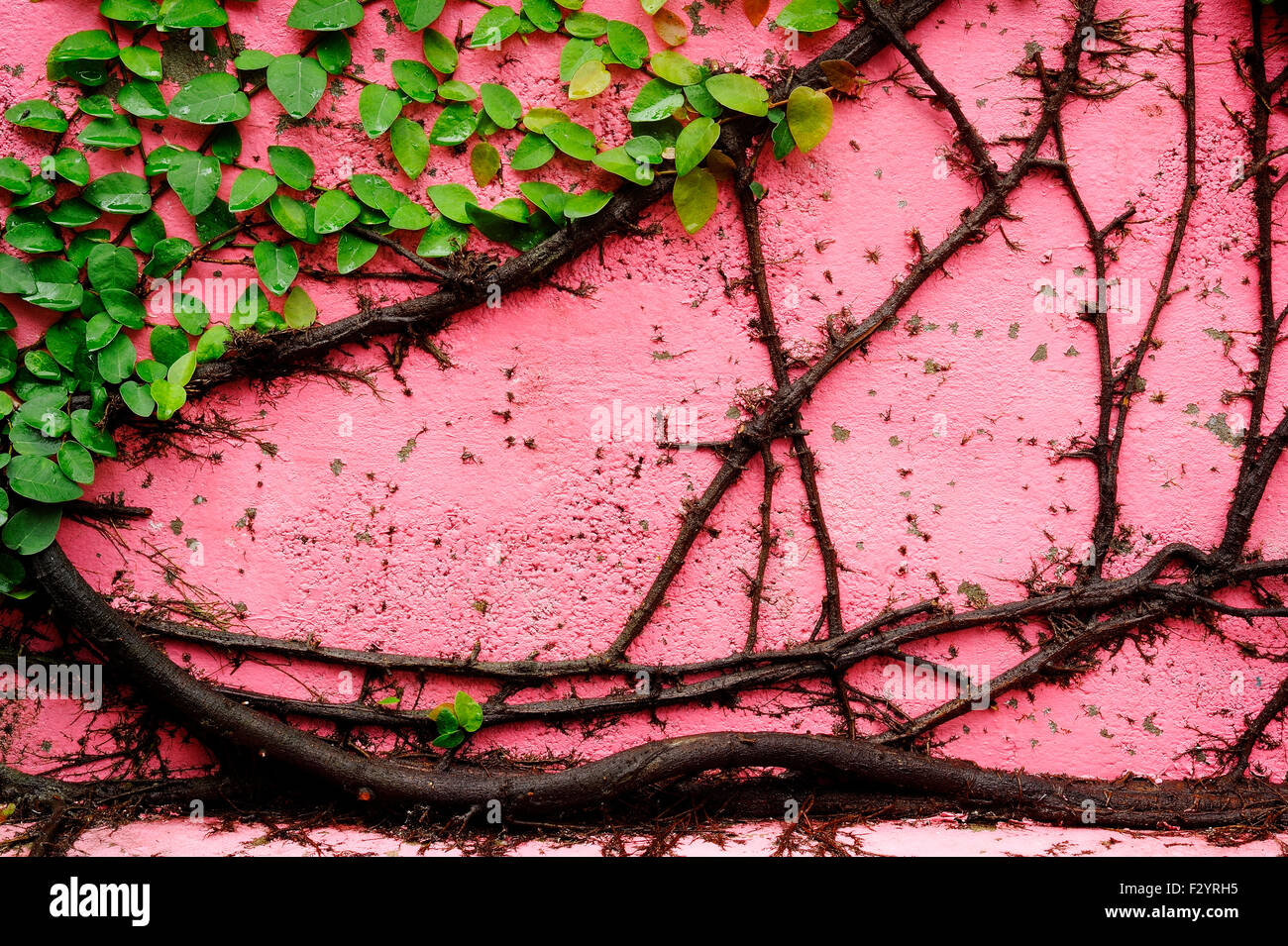 creeper plant on pink wall creates - Stock Image