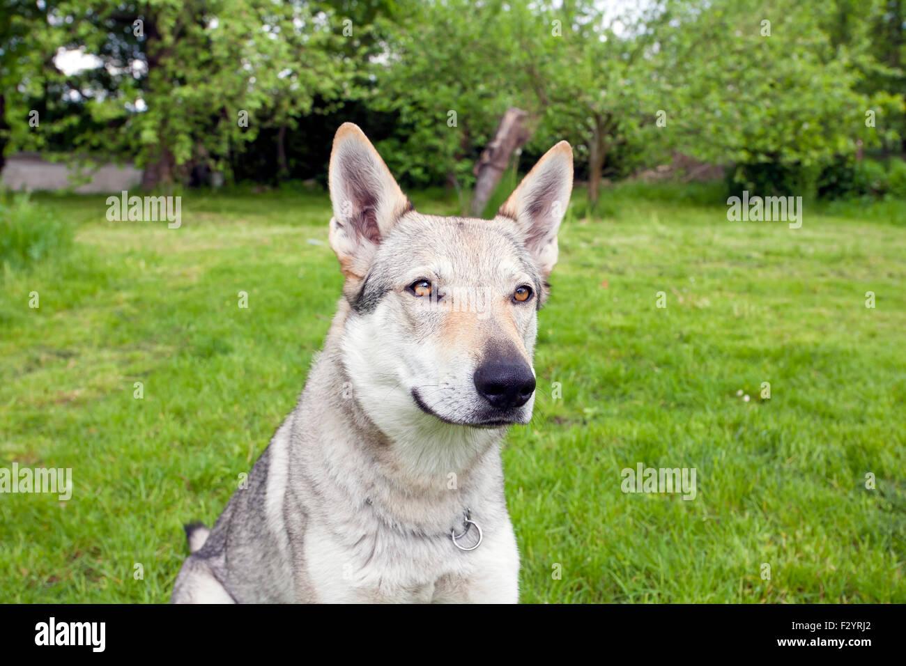 Young Czechoslovakian Wolfdog feline in the green spring garden - Stock Image