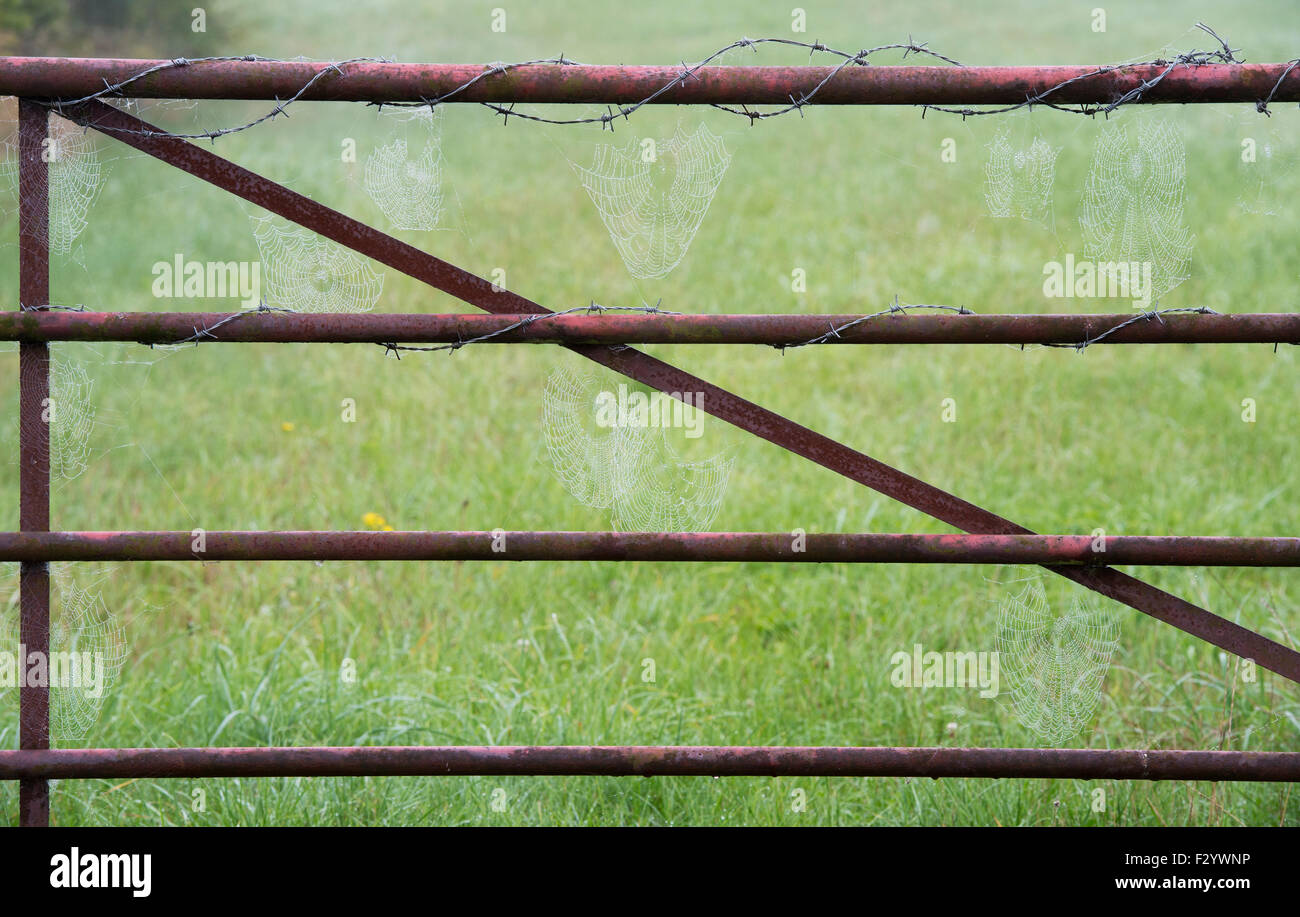 Mist covered Spiders webs in between a metal gate in the english countryside - Stock Image