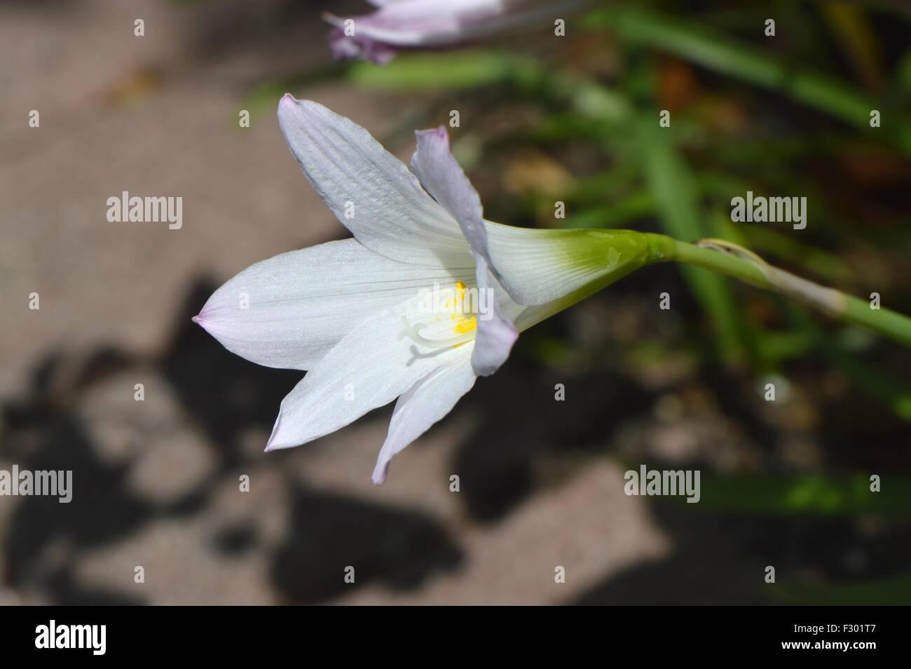 Crinum lily powellii Album in flower Stock Photo