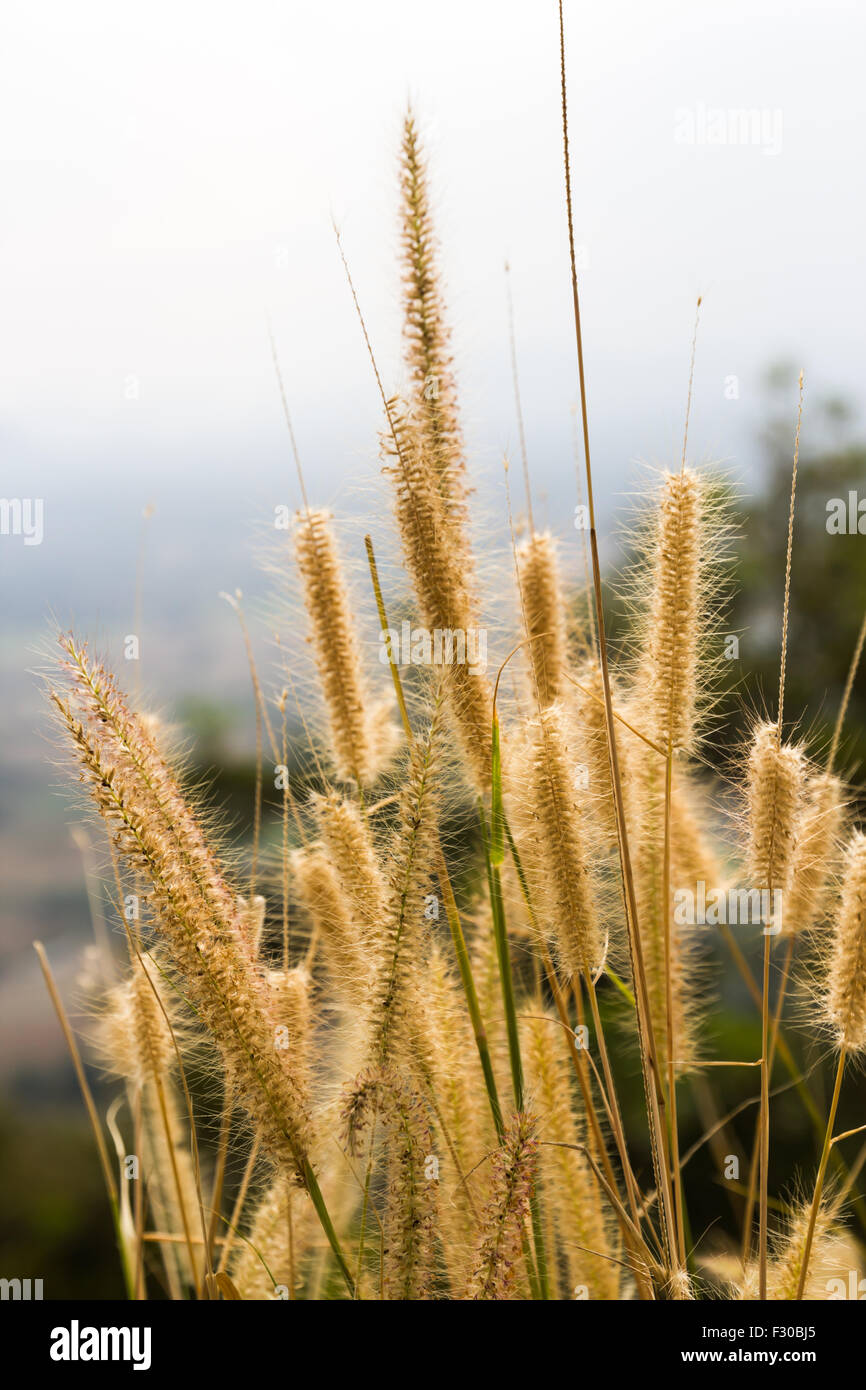 Gramineae grass on Phu Tok, Chiang Khan, Thailand - Stock Image
