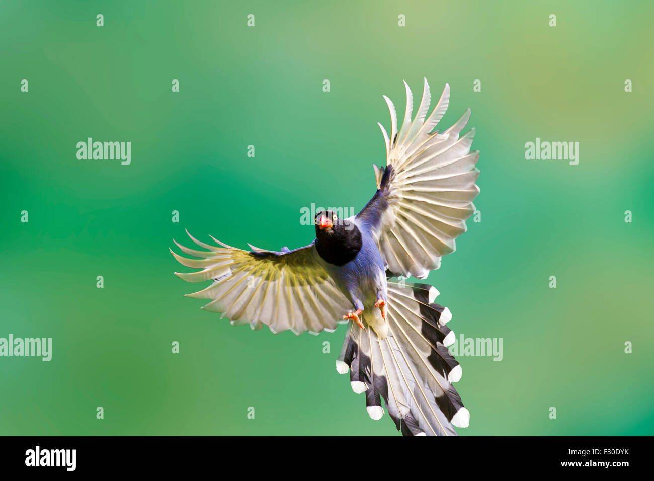 formosa blue magpie in flight against pure background - Stock Image