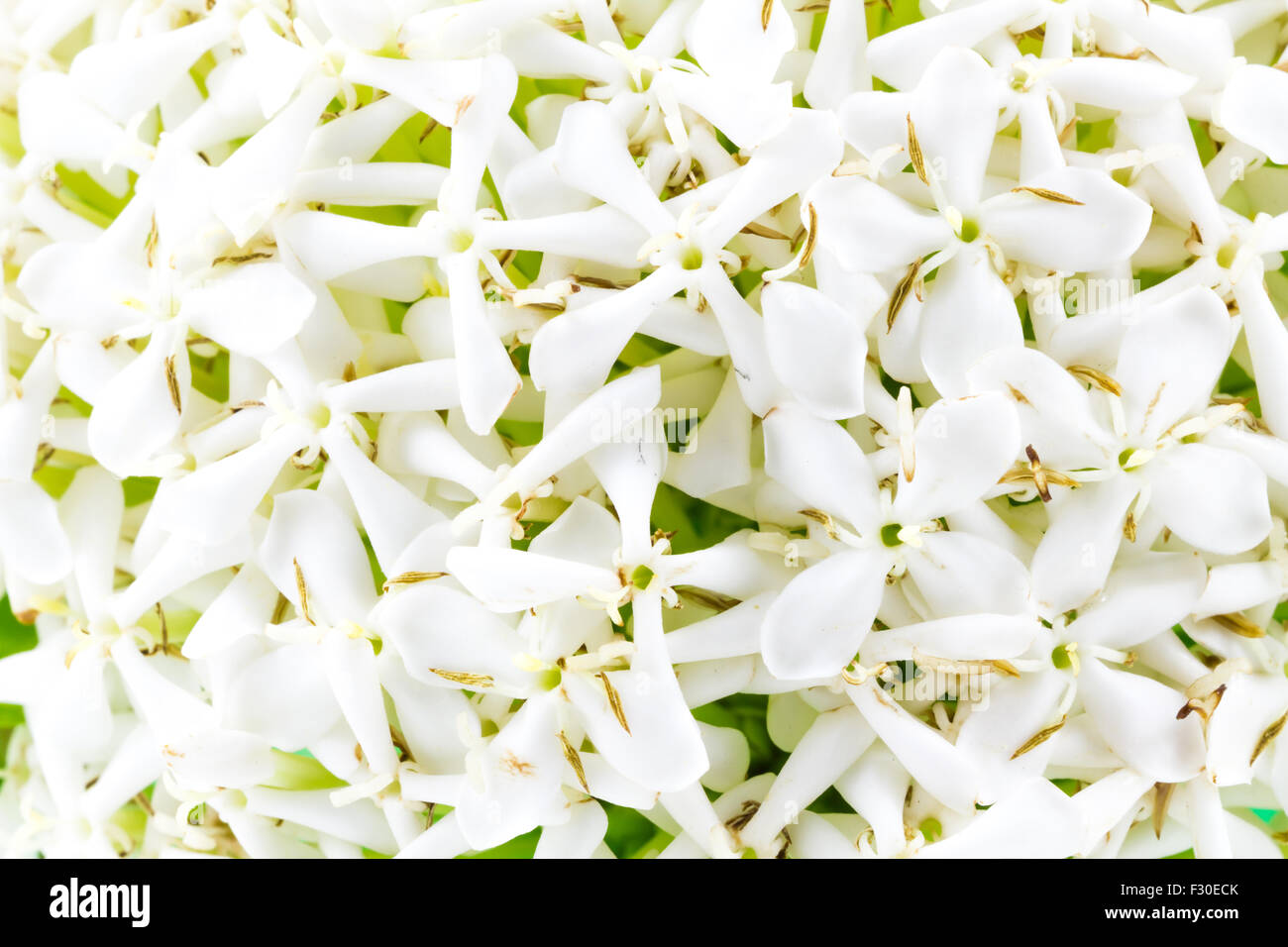 White Ixora Or West Indian Jasmine Flower Stock Photo 87907139 Alamy