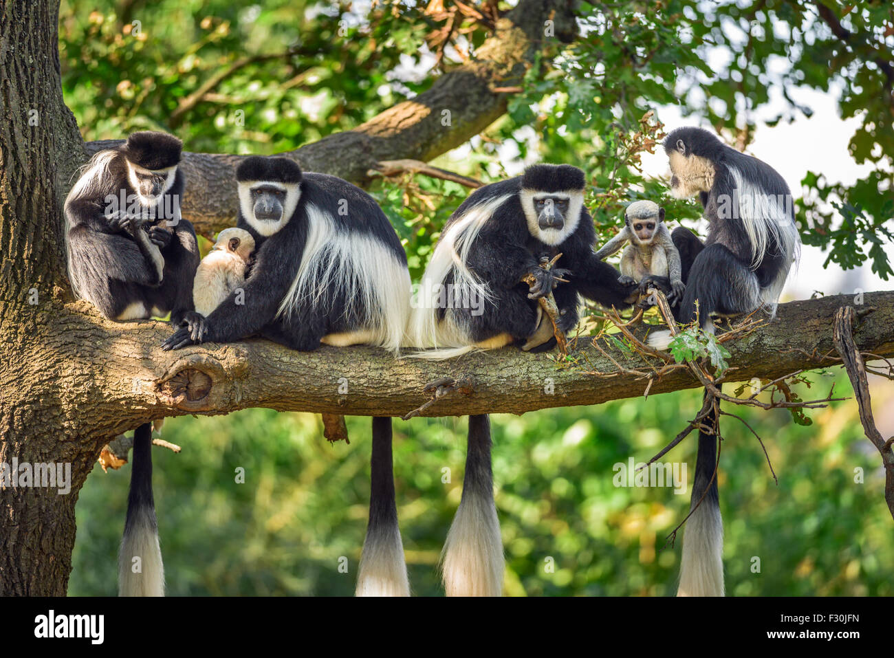 A troop of Mantled guereza monkeys (Colobus guereza) with two newborns - Stock Image
