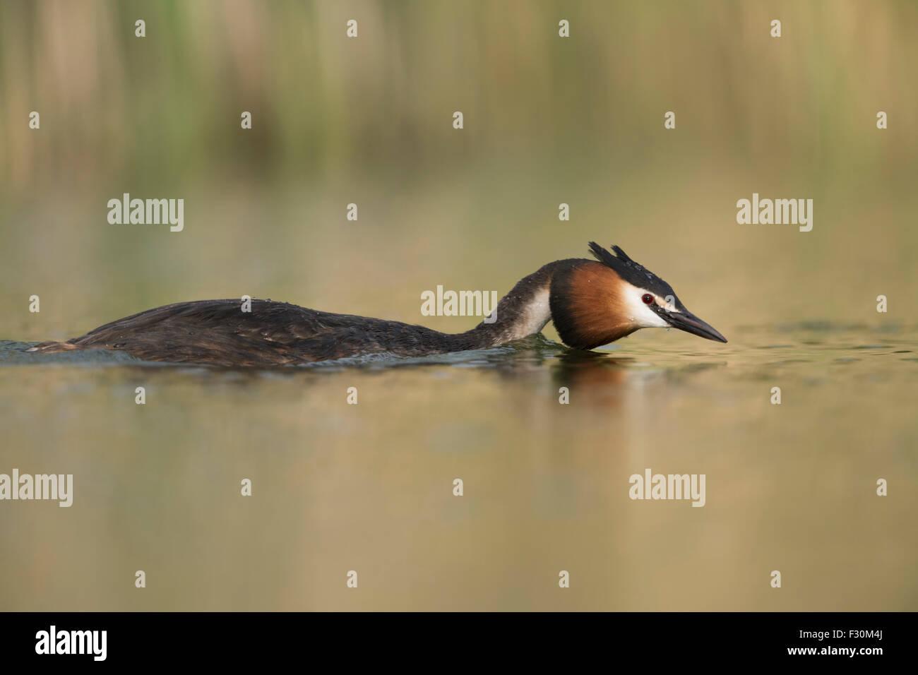Great Crested Grebe / Great crestie / Haubentaucher ( Podiceps cristatus ) swims flatten searching for its mate, - Stock Image