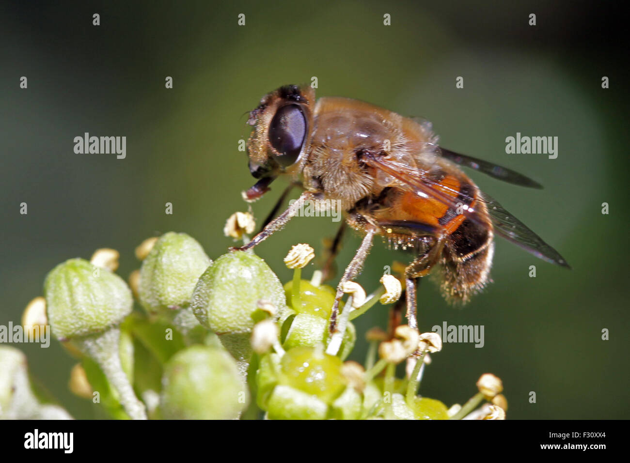 Close-up, macro photo of a Bee feeding on an Ivy flower. - Stock Image