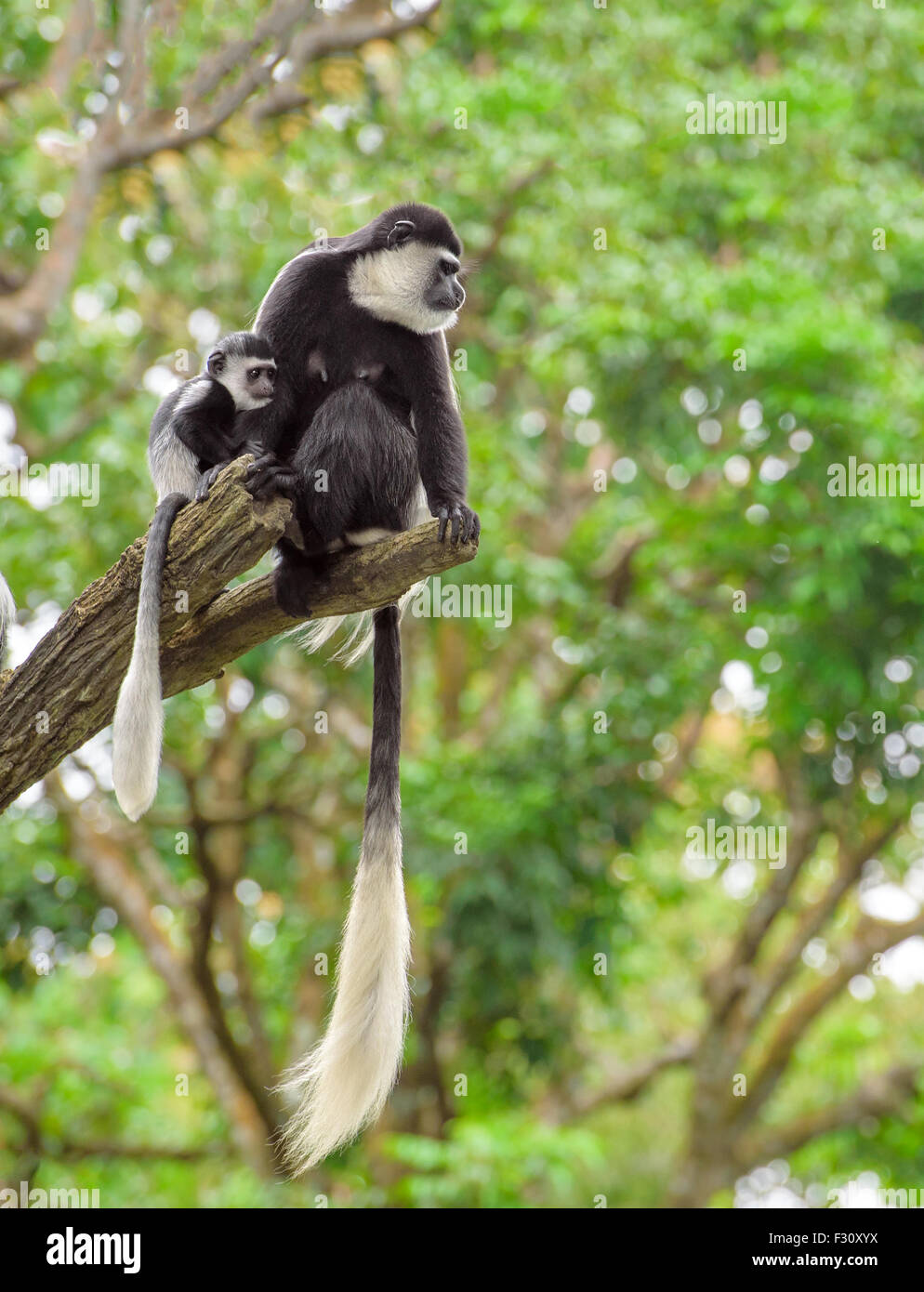 Baby colobus monkey with its mom sitting on a tree in rainforest - Stock Image
