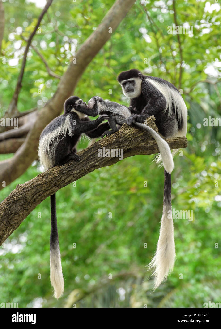 Family of black and white colobus monkeys sitting on a tree in rainforest - Stock Image