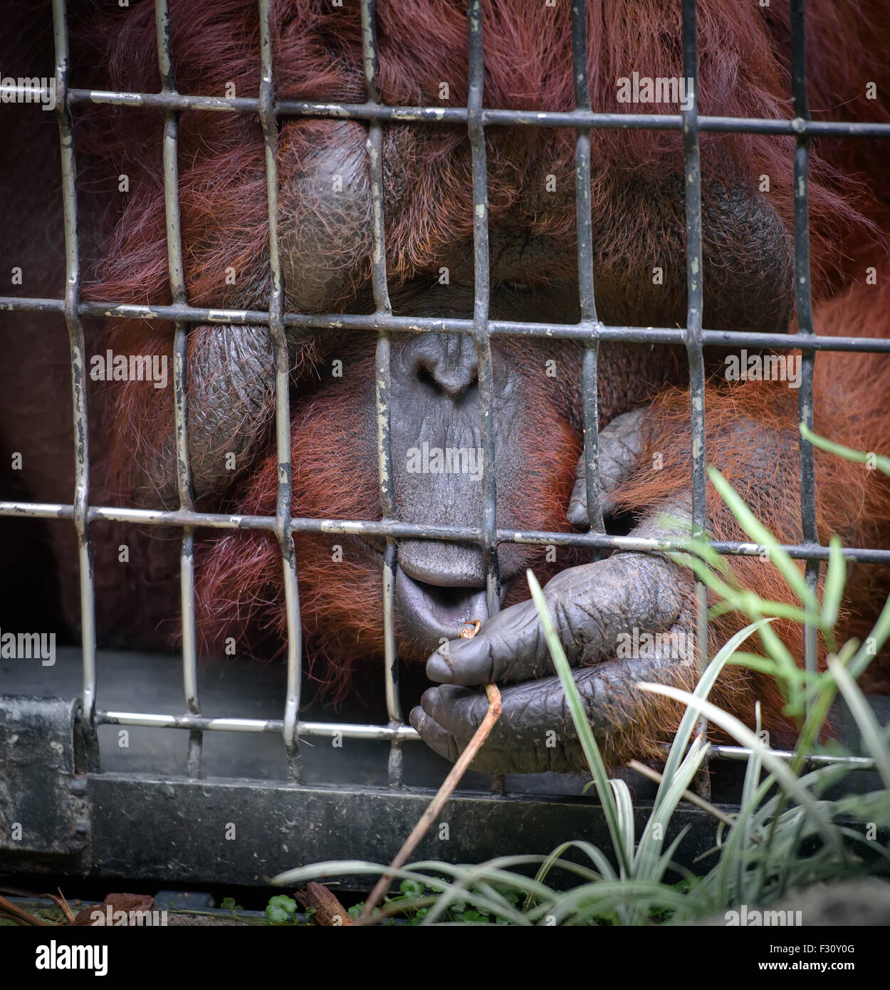 Orangutan in a cage reaching grass through the cells - Stock Image