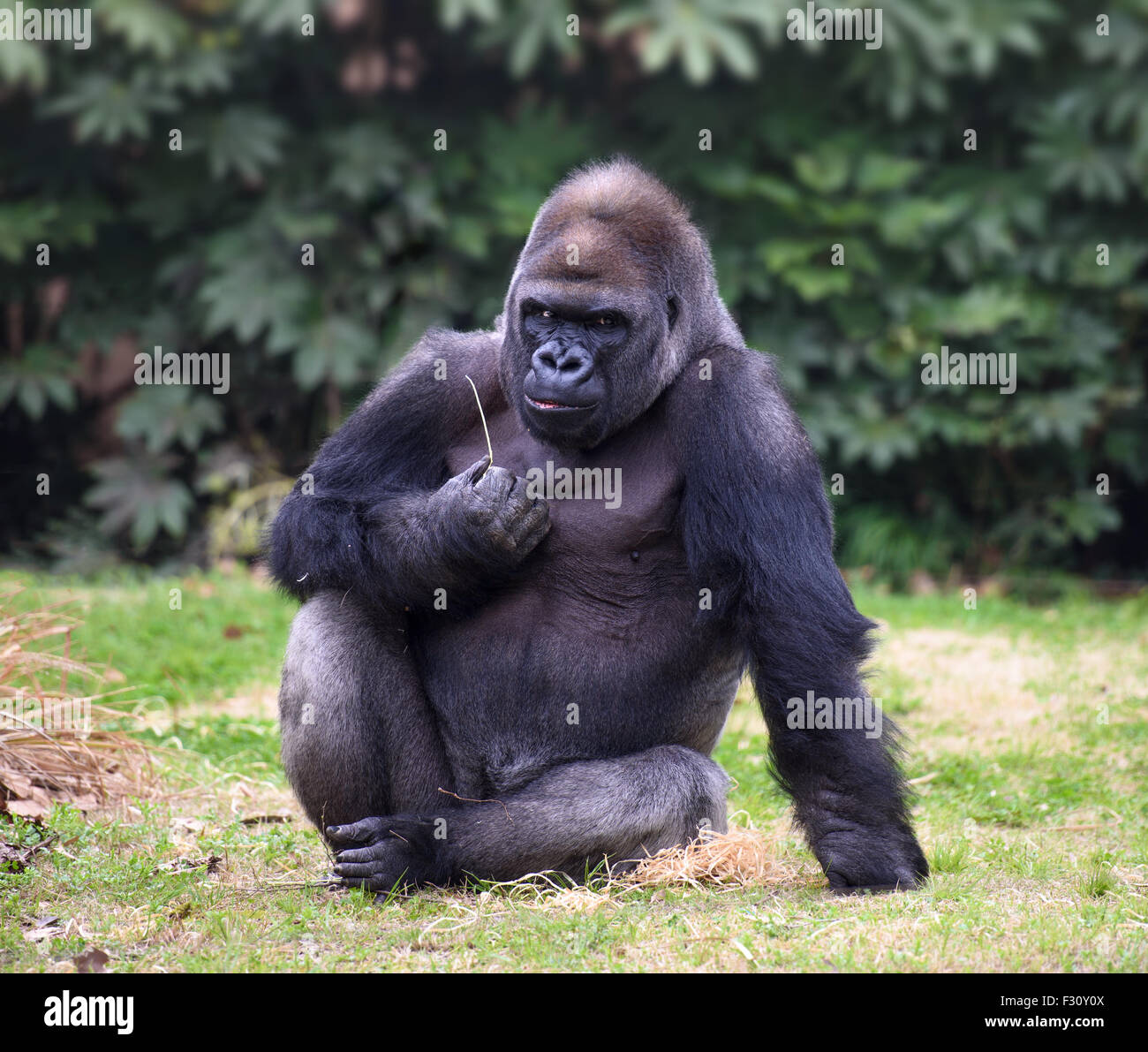Gorilla with gloomy expression looking straight in camera ...