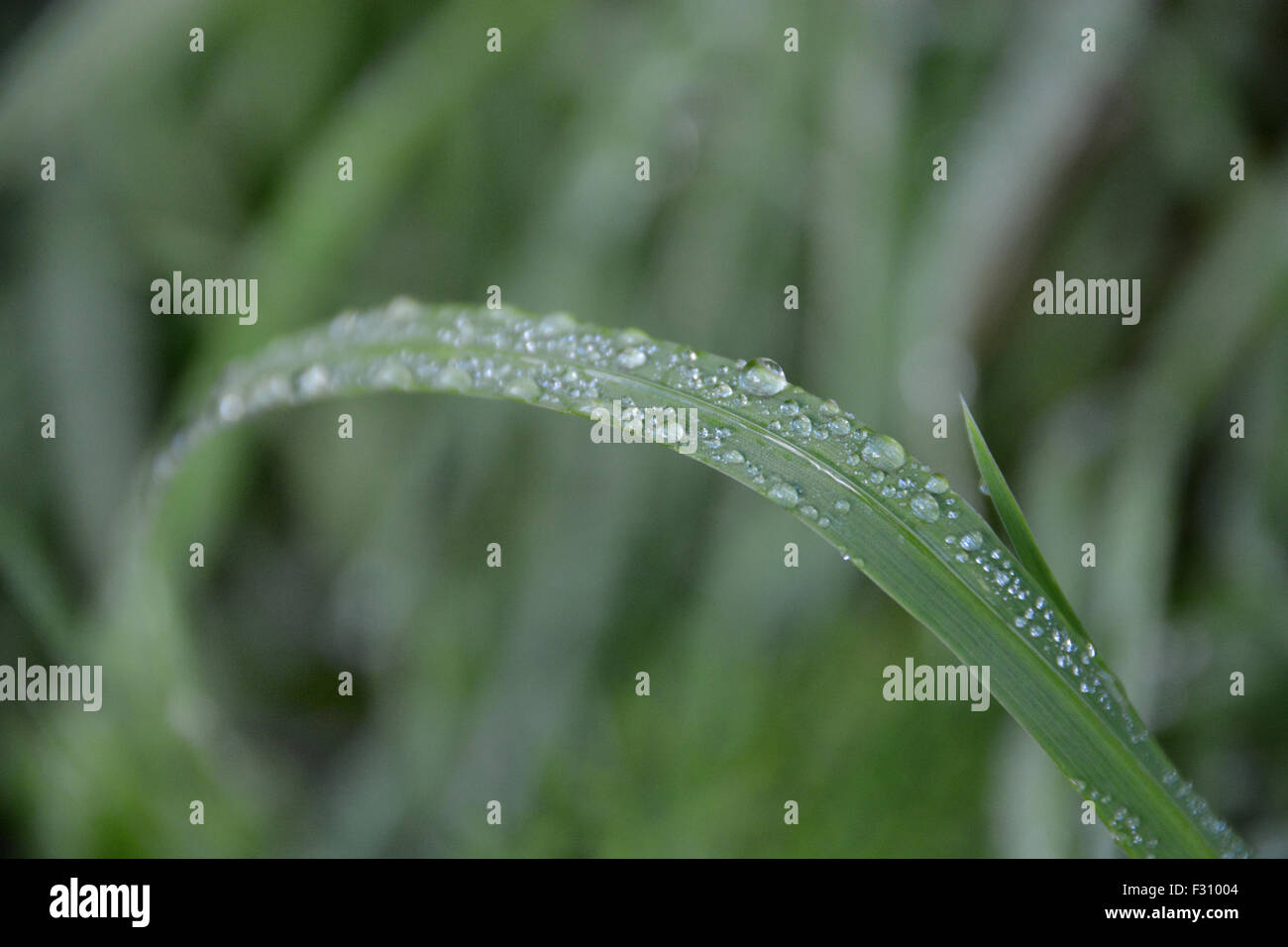 Blade of grass with dew drops on it - Stock Image